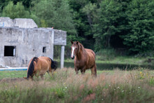 Closeup Of Two Brown Horses Gr...