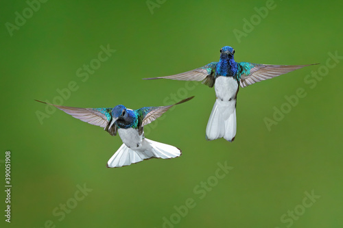 Fototapeta Flying blue and white hummingbird White-necked Jacobin, Florisuga mellivora, from Colombia, clear green background