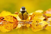Autumn Wildlife. Great Tit, Pa...