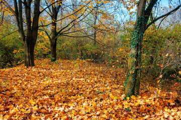 sunny autumn scenery in the deciduous forest. trees in colorful foliage. ground covered with fallen leaves. seasonal change of nature. warm and dry weather