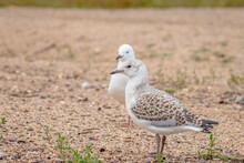 Immature Silver Gull Beside A ...