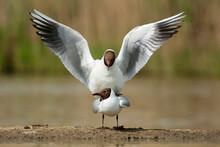 Common Black-headed Gull, Croi...