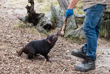 Animal Keeper Feed Tasmanian D...