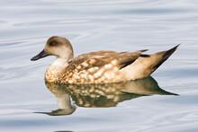 Crested Duck, Lophonetta Specu...