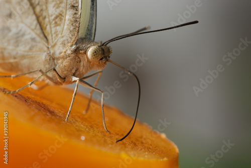 Tropical butterfly sucking nectar and fruit juices Canvas Print
