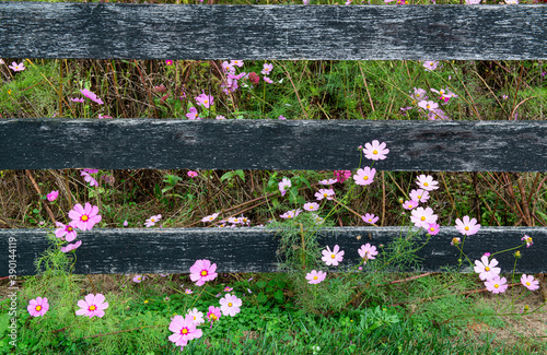 Fotografija Cosmos flowers growing under fence in meadow in central Virginia in fall