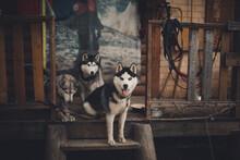 Husky Dogs Near The House