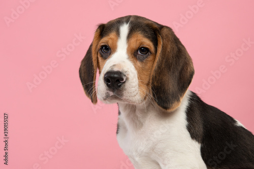 Obraz Portrait of a cute beagle puppy looking at the camera on a pink background seen from the side - fototapety do salonu