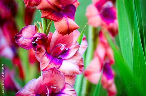 gladioli in bloom close up Fototapet