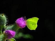 Male Yellow Brimstone Butterfl...