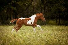 Adorable Paint Horse Foal Runn...