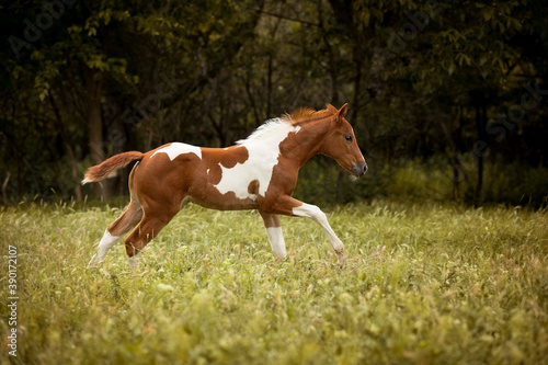 Fotografia adorable paint horse foal running in high green grass