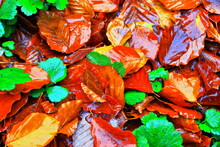 A Color Image Of Autumn Leaves Getting Soaked By The Falling Rain.