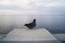 Small Pigeon Perched On A Pill...