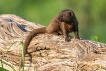 Dwarf Mongoose In South Afirca