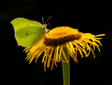 Brimstone Butterfly And Flower