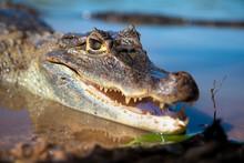 Alligator Lizard Sunbathing On...