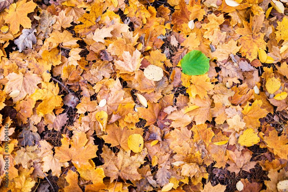 Fototapeta kontrast liście zółte i liść zielony