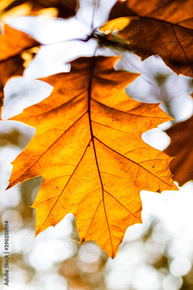Fototapeta liść klonu jesień żółty