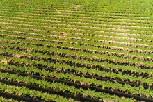 Aerial Views Over Grape Vines ...