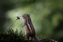 Siberian Chipmunk (Eutamias Si...