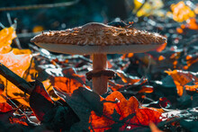Large Umbrella Mushroom, Macrolepiota Procera, Parasol Mushroom In Forest, Colorful