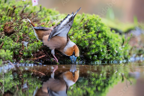 Hawfinch (Coccothraustes coccothraustes) drinking water in the forest of Noord Brabant in the Netherlands Billede på lærred