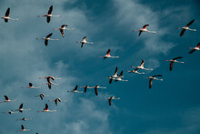 Flock Of Flamingos Flying