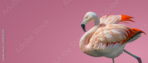 Fotografia Banner with rosy Chilean flamingo isolated at smooth light pink or rosy background with copy space for text, closeup, details