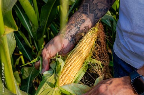 Farmer standing in corn field inspecting corn.