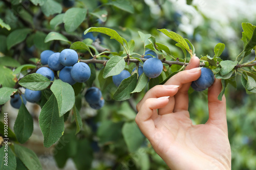Leinwand Poster Woman picking sloe berries off bush outdoors, closeup