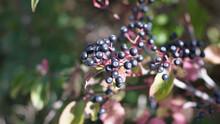 Closeup Shot Of Elderberries