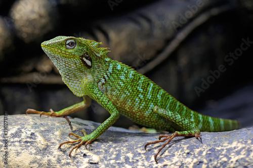 Fototapeta A green crested lizard (Bronchocela jubata) is sunbathing before starting his daily activities