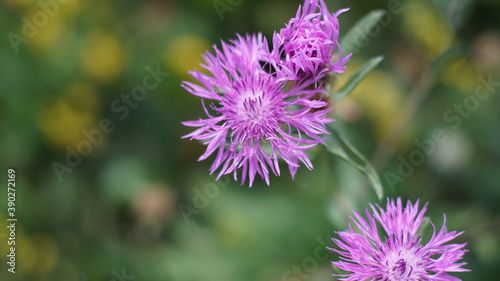 Closeup shot of distaff thistles on blurred background Fototapet