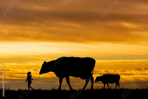 Fotografija 夕陽を背景に草原の牧場で牛の親子を曳く女の子のシルエット
