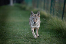 Coyote In The Grass Running Straight At Camera Headshot Close Encounter In City