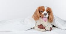 King Charles Spaniel Dog  Sits...