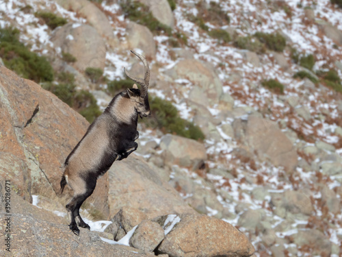 Beautiful shot of a wild horned goat on its hind legs in the mountains Canvas Print