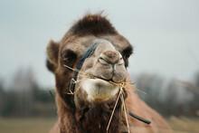 Portrait Of A Camel (close) Ch...