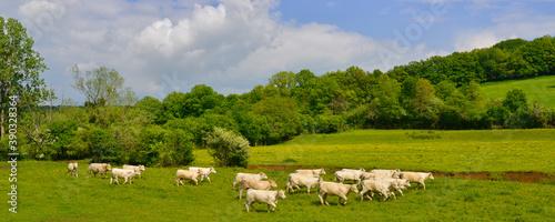 Tela Panoramique troupeau de vachettes charolaises au trot