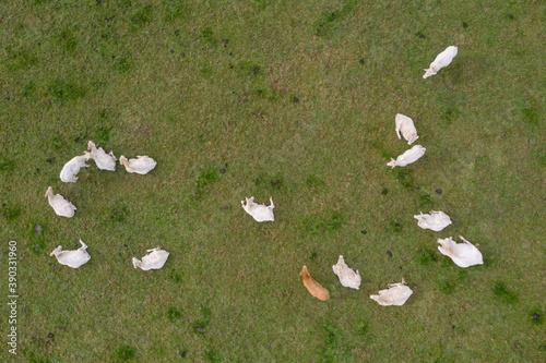 Des vaches charolaise en vue aérienne Canvas Print