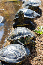 Flock Of Trachemys Scripta Turtle On The River Bank, Vertical Wildlife
