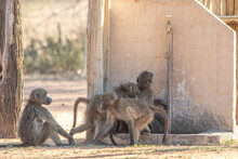 Chacma Baboons Drinking Water ...