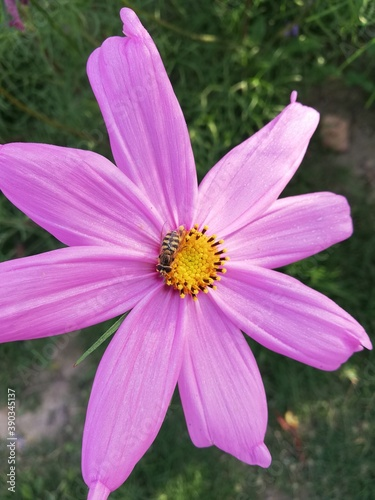 Fototapeta Cosmos is a genus, with the same common name of cosmos, consisting of flowering plants in the sunflower family. obraz na płótnie