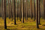 Fototapeta  - Las sosnowy jesienią