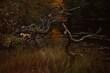 Stare pochylone drzewo w wodzie, jesień, blisko lasu.