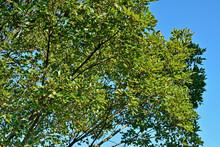 樹木・エノキ ニレ科