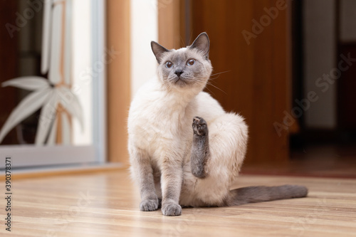 Fotografie, Obraz A Thai cat is sitting on the floor and has raised its hind leg to scratch