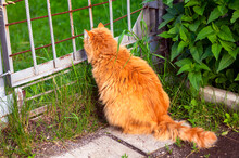 Ginger Cat Sitting Outdoors An...