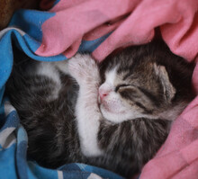 Domestic Animal Photography - Close Up Of A Few Days Old White, Black And Grey Kitten, Sleeping In A Blue And Red Blanket